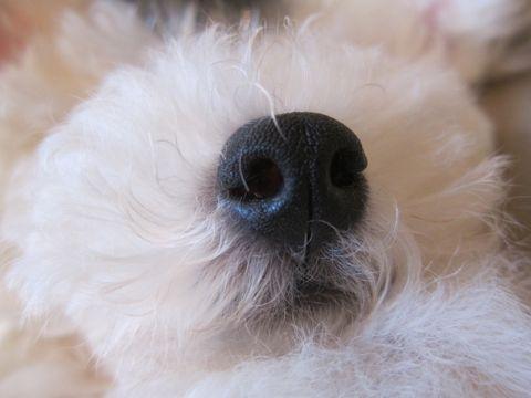 ビションフリーゼフントヒュッテ東京子犬こいぬかわいいビションフリーゼのいるお店文京区駒込ペットサロンhundehutteトリミングビションBichon Friseフランスの犬白い犬217.jpg
