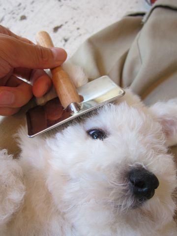 ビションフリーゼフントヒュッテ東京子犬こいぬかわいいビションフリーゼのいるお店文京区駒込ペットサロンhundehutteトリミングビションBichon Friseフランスの犬白い犬218.jpg