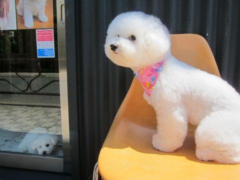 ビションフリーゼフントヒュッテ東京子犬こいぬかわいいビションフリーゼのいるお店文京区駒込ペットサロンhundehutteトリミングビションBichon Friseフランスの犬白い犬222.jpg