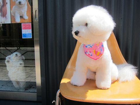 ビションフリーゼフントヒュッテ東京子犬こいぬかわいいビションフリーゼのいるお店文京区駒込ペットサロンhundehutteトリミングビションBichon Friseフランスの犬白い犬223.jpg