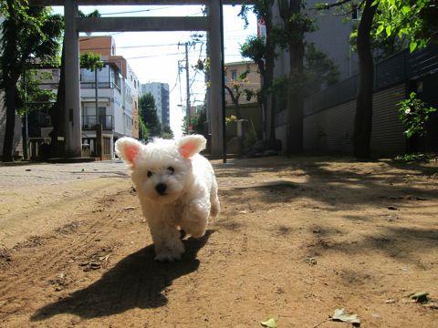 ビションフリーゼフントヒュッテ東京子犬こいぬかわいいビションフリーゼのいるお店文京区駒込ペットサロンhundehutteトリミングビションBichon Friseフランスの犬白い犬224.jpg