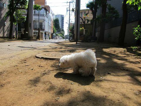 ビションフリーゼフントヒュッテ東京子犬こいぬかわいいビションフリーゼのいるお店文京区駒込ペットサロンhundehutteトリミングビションBichon Friseフランスの犬白い犬227.jpg