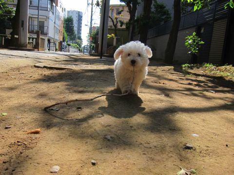 ビションフリーゼフントヒュッテ東京子犬こいぬかわいいビションフリーゼのいるお店文京区駒込ペットサロンhundehutteトリミングビションBichon Friseフランスの犬白い犬228.jpg