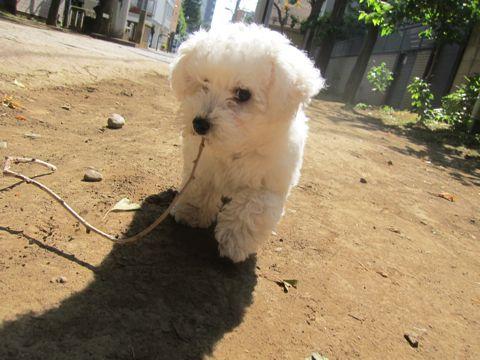 ビションフリーゼフントヒュッテ東京子犬こいぬかわいいビションフリーゼのいるお店文京区駒込ペットサロンhundehutteトリミングビションBichon Friseフランスの犬白い犬229.jpg