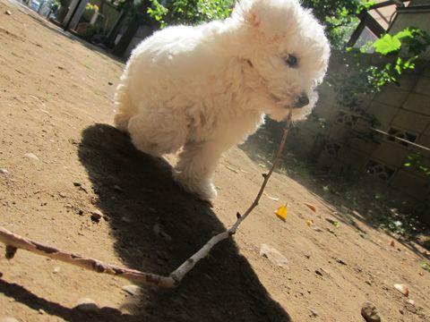 ビションフリーゼフントヒュッテ東京子犬こいぬかわいいビションフリーゼのいるお店文京区駒込ペットサロンhundehutteトリミングビションBichon Friseフランスの犬白い犬230.jpg