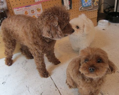 ビションフリーゼフントヒュッテ東京子犬こいぬかわいいビションフリーゼのいるお店文京区駒込ペットサロンhundehutteトリミングビションBichon Friseフランスの犬白い犬237.jpg
