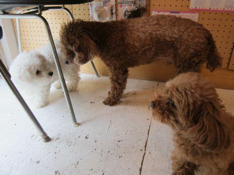ビションフリーゼフントヒュッテ東京子犬こいぬかわいいビションフリーゼのいるお店文京区駒込ペットサロンhundehutteトリミングビションBichon Friseフランスの犬白い犬238.jpg