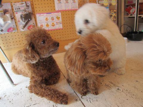 ビションフリーゼフントヒュッテ東京子犬こいぬかわいいビションフリーゼのいるお店文京区駒込ペットサロンhundehutteトリミングビションBichon Friseフランスの犬白い犬242.jpg
