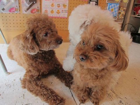ビションフリーゼフントヒュッテ東京子犬こいぬかわいいビションフリーゼのいるお店文京区駒込ペットサロンhundehutteトリミングビションBichon Friseフランスの犬白い犬243.jpg