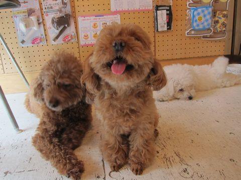 ビションフリーゼフントヒュッテ東京子犬こいぬかわいいビションフリーゼのいるお店文京区駒込ペットサロンhundehutteトリミングビションBichon Friseフランスの犬白い犬244.jpg