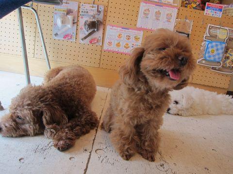 ビションフリーゼフントヒュッテ東京子犬こいぬかわいいビションフリーゼのいるお店文京区駒込ペットサロンhundehutteトリミングビションBichon Friseフランスの犬白い犬245.jpg