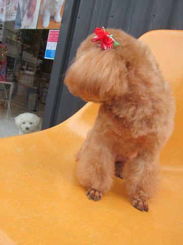 ビションフリーゼフントヒュッテ東京子犬こいぬかわいいビションフリーゼのいるお店文京区駒込ペットサロンhundehutteトリミングビションBichon Friseフランスの犬白い犬246.jpg