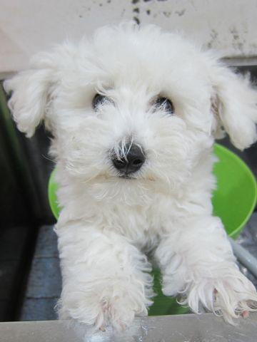 ビションフリーゼフントヒュッテ東京子犬こいぬかわいいビションフリーゼのいるお店文京区駒込ペットサロンhundehutteトリミングビションBichon Friseフランスの犬白い犬248.jpg