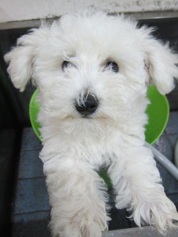 ビションフリーゼフントヒュッテ東京子犬こいぬかわいいビションフリーゼのいるお店文京区駒込ペットサロンhundehutteトリミングビションBichon Friseフランスの犬白い犬249.jpg