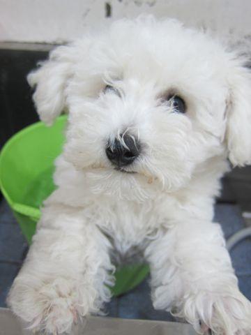 ビションフリーゼフントヒュッテ東京子犬こいぬかわいいビションフリーゼのいるお店文京区駒込ペットサロンhundehutteトリミングビションBichon Friseフランスの犬白い犬250.jpg