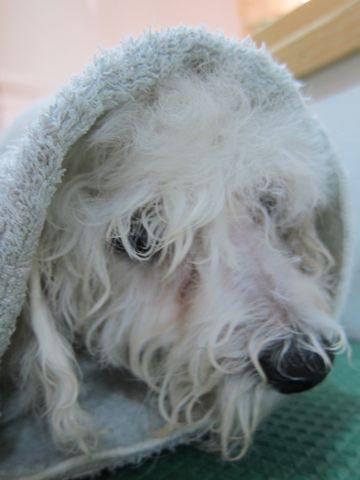 ビションフリーゼフントヒュッテ東京子犬こいぬかわいいビションフリーゼのいるお店文京区駒込ペットサロンhundehutteトリミングビションBichon Friseフランスの犬白い犬256.jpg