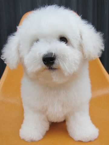 ビションフリーゼフントヒュッテ東京子犬こいぬかわいいビションフリーゼのいるお店文京区駒込ペットサロンhundehutteトリミングビションBichon Friseフランスの犬白い犬257.jpg