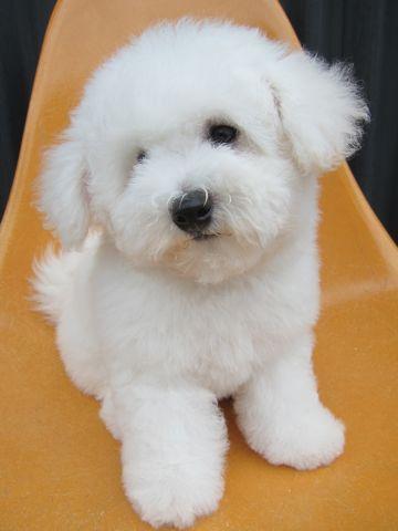 ビションフリーゼフントヒュッテ東京子犬こいぬかわいいビションフリーゼのいるお店文京区駒込ペットサロンhundehutteトリミングビションBichon Friseフランスの犬白い犬259.jpg