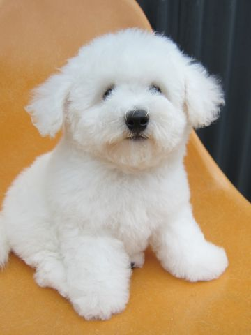 ビションフリーゼフントヒュッテ東京子犬こいぬかわいいビションフリーゼのいるお店文京区駒込ペットサロンhundehutteトリミングビションBichon Friseフランスの犬白い犬260.jpg