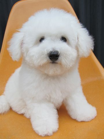 ビションフリーゼフントヒュッテ東京子犬こいぬかわいいビションフリーゼのいるお店文京区駒込ペットサロンhundehutteトリミングビションBichon Friseフランスの犬白い犬261.jpg