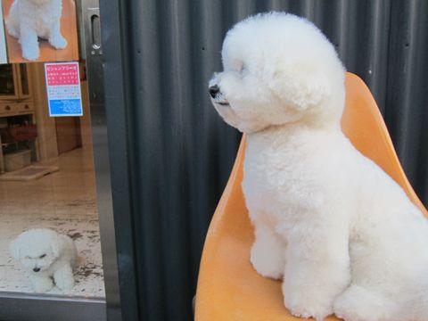 ビションフリーゼフントヒュッテ東京子犬こいぬかわいいビションフリーゼのいるお店文京区駒込ペットサロンhundehutteトリミングビションBichon Friseフランスの犬白い犬262.jpg