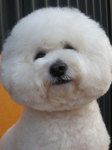ビションフリーゼフントヒュッテ東京子犬こいぬかわいいビションフリーゼのいるお店文京区駒込ペットサロンhundehutteトリミングビションBichon Friseフランスの犬白い犬263.jpg