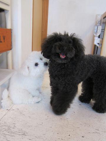 ビションフリーゼフントヒュッテ東京子犬こいぬかわいいビションフリーゼのいるお店文京区駒込ペットサロンhundehutteトリミングビションBichon Friseフランスの犬白い犬264.jpg