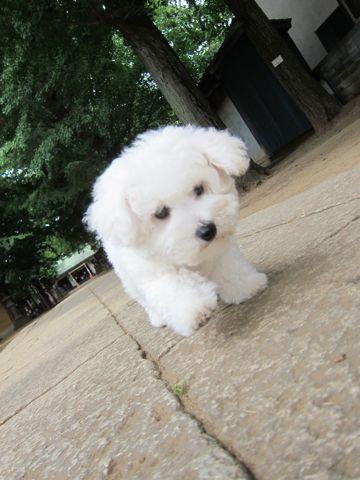 ビションフリーゼフントヒュッテ東京子犬こいぬかわいいビションフリーゼのいるお店文京区駒込ペットサロンhundehutteトリミングビションBichon Friseフランスの犬白い犬265.jpg