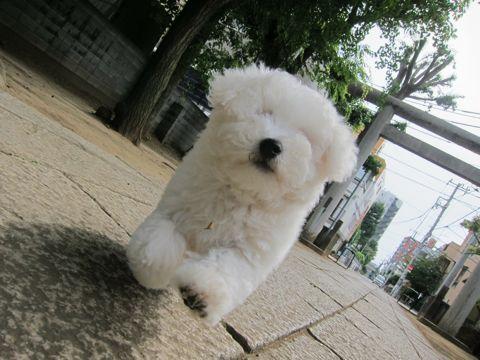 ビションフリーゼフントヒュッテ東京子犬こいぬかわいいビションフリーゼのいるお店文京区駒込ペットサロンhundehutteトリミングビションBichon Friseフランスの犬白い犬266.jpg