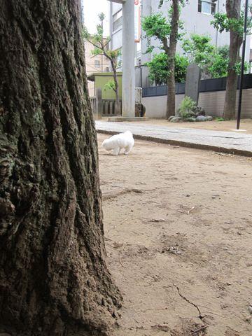 ビションフリーゼフントヒュッテ東京子犬こいぬかわいいビションフリーゼのいるお店文京区駒込ペットサロンhundehutteトリミングビションBichon Friseフランスの犬白い犬268.jpg