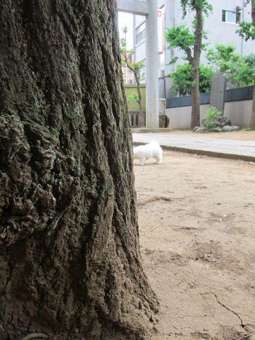 ビションフリーゼフントヒュッテ東京子犬こいぬかわいいビションフリーゼのいるお店文京区駒込ペットサロンhundehutteトリミングビションBichon Friseフランスの犬白い犬269.jpg