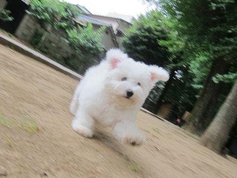 ビションフリーゼフントヒュッテ東京子犬こいぬかわいいビションフリーゼのいるお店文京区駒込ペットサロンhundehutteトリミングビションBichon Friseフランスの犬白い犬270.jpg