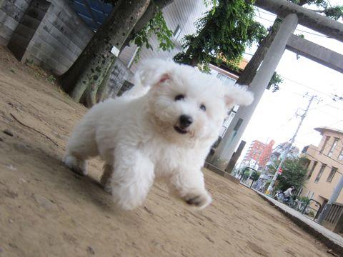 ビションフリーゼフントヒュッテ東京子犬こいぬかわいいビションフリーゼのいるお店文京区駒込ペットサロンhundehutteトリミングビションBichon Friseフランスの犬白い犬271.jpg