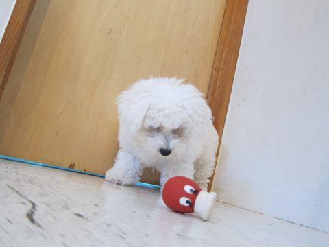 ビションフリーゼフントヒュッテ東京子犬こいぬかわいいビションフリーゼのいるお店文京区駒込ペットサロンhundehutteトリミングビションBichon Friseフランスの犬白い犬273.jpg
