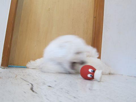 ビションフリーゼフントヒュッテ東京子犬こいぬかわいいビションフリーゼのいるお店文京区駒込ペットサロンhundehutteトリミングビションBichon Friseフランスの犬白い犬274.jpg
