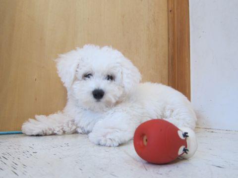 ビションフリーゼフントヒュッテ東京子犬こいぬかわいいビションフリーゼのいるお店文京区駒込ペットサロンhundehutteトリミングビションBichon Friseフランスの犬白い犬275.jpg
