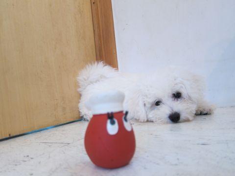 ビションフリーゼフントヒュッテ東京子犬こいぬかわいいビションフリーゼのいるお店文京区駒込ペットサロンhundehutteトリミングビションBichon Friseフランスの犬白い犬277.jpg