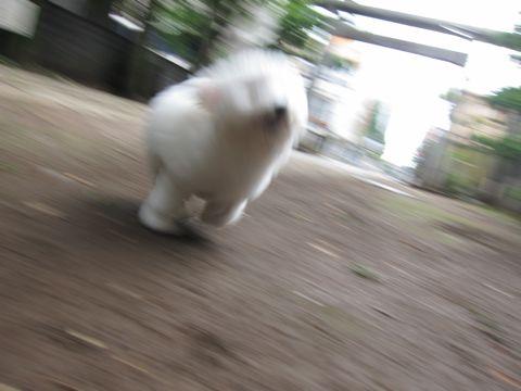 ビションフリーゼフントヒュッテ東京子犬こいぬかわいいビションフリーゼのいるお店文京区駒込ペットサロンhundehutteトリミングビションBichon Friseフランスの犬白い犬279.jpg