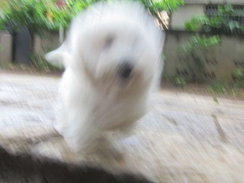 ビションフリーゼフントヒュッテ東京子犬こいぬかわいいビションフリーゼのいるお店文京区駒込ペットサロンhundehutteトリミングビションBichon Friseフランスの犬白い犬280.jpg