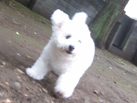ビションフリーゼフントヒュッテ東京子犬こいぬかわいいビションフリーゼのいるお店文京区駒込ペットサロンhundehutteトリミングビションBichon Friseフランスの犬白い犬281.jpg