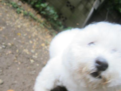 ビションフリーゼフントヒュッテ東京子犬こいぬかわいいビションフリーゼのいるお店文京区駒込ペットサロンhundehutteトリミングビションBichon Friseフランスの犬白い犬283.jpg
