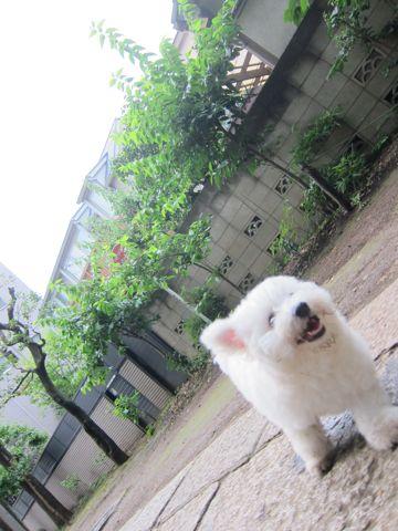 ビションフリーゼフントヒュッテ東京子犬こいぬかわいいビションフリーゼのいるお店文京区駒込ペットサロンhundehutteトリミングビションBichon Friseフランスの犬白い犬284.jpg