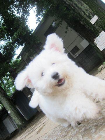ビションフリーゼフントヒュッテ東京子犬こいぬかわいいビションフリーゼのいるお店文京区駒込ペットサロンhundehutteトリミングビションBichon Friseフランスの犬白い犬287.jpg