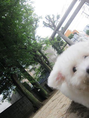 ビションフリーゼフントヒュッテ東京子犬こいぬかわいいビションフリーゼのいるお店文京区駒込ペットサロンhundehutteトリミングビションBichon Friseフランスの犬白い犬288.jpg
