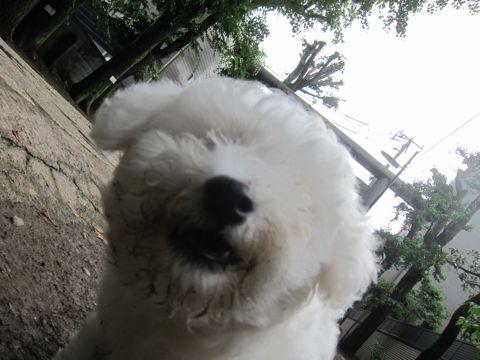 ビションフリーゼフントヒュッテ東京子犬こいぬかわいいビションフリーゼのいるお店文京区駒込ペットサロンhundehutteトリミングビションBichon Friseフランスの犬白い犬289.jpg