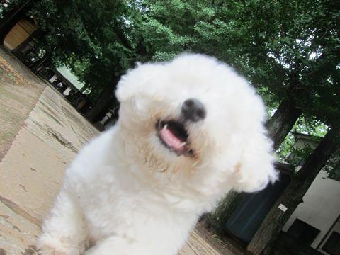ビションフリーゼフントヒュッテ東京子犬こいぬかわいいビションフリーゼのいるお店文京区駒込ペットサロンhundehutteトリミングビションBichon Friseフランスの犬白い犬290.jpg