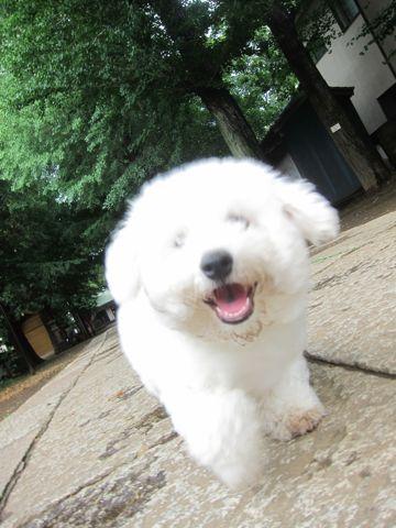 ビションフリーゼフントヒュッテ東京子犬こいぬかわいいビションフリーゼのいるお店文京区駒込ペットサロンhundehutteトリミングビションBichon Friseフランスの犬白い犬291.jpg