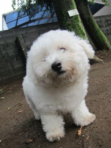 ビションフリーゼフントヒュッテ東京子犬こいぬかわいいビションフリーゼのいるお店文京区駒込ペットサロンhundehutteトリミングビションBichon Friseフランスの犬白い犬292.jpg