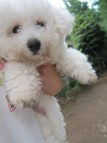 ビションフリーゼフントヒュッテ東京子犬こいぬかわいいビションフリーゼのいるお店文京区駒込ペットサロンhundehutteトリミングビションBichon Friseフランスの犬白い犬293.jpg
