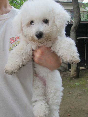 ビションフリーゼフントヒュッテ東京子犬こいぬかわいいビションフリーゼのいるお店文京区駒込ペットサロンhundehutteトリミングビションBichon Friseフランスの犬白い犬294.jpg